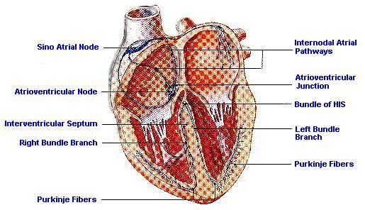 diagram of cardiac muscle – citybeauty, Muscles